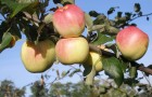 Сорт яблони: Ермаковское горное