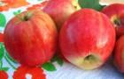 Сорт яблони: Горнист
