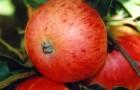 Сорт яблони: Грушовка московская (Грушовка, Скороспелка)