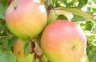 Сорт яблони: Имрус