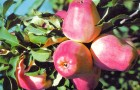 Сорт яблони: Кандиль орловский