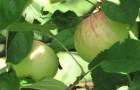 Сорт яблони: Коричное полосатое (Коричное, Коричневое)