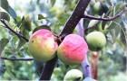 Сорт яблони: Ковровое
