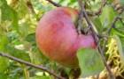 Сорт яблони: Крупное Ртищева