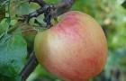 Сорт яблони: Курнаковское