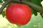 Сорт яблони: Ламбурне (Лорд Ламбурне)
