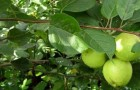 Сорт яблони: Лебединая песня (Любава)