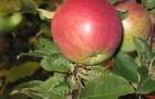 Сорт яблони: Лобо