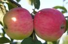Сорт яблони: Мелба красная