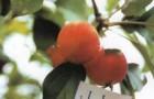 Сорт яблони: Минусинское десертное (Надежда)