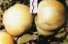 Сорт яблони: Нимфа
