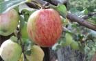 Сорт яблони: Орловское полосатое