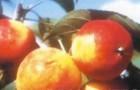 Сорт яблони: Пальметта