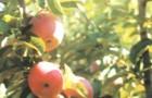 Сорт яблони: Память Сергееву
