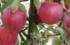 Сорт яблони: Пепин башкирский