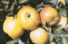 Сорт яблони: Пепин лондонский (Кальвиль королевский, Царский кальвиль)