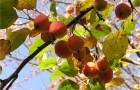 Сорт яблони: Пепинка алтайская