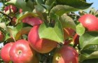 Сорт яблони: Пепинка литовская (Глогеровка, Пепинка, Сарепка, Пепин литовский)