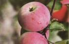 Сорт яблони: Первинка