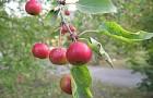 Сорт яблони: Подарок БАМу (Розовое)