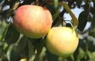 Сорт яблони: Подарок Графскому