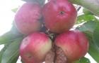 Сорт яблони: Приморское