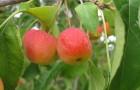 Сорт яблони: Ранетка Ермолаева