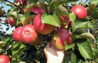 Сорт яблони: Ренет кабардинский
