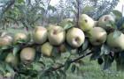 Сорт яблони: Ренет кубанский