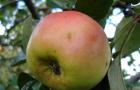 Сорт яблони: Ренет окрашенный