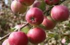 Сорт яблони: Рождественское