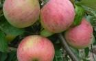 Сорт яблони: Шафран саратовский