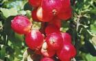 Сорт яблони: Сибирский сувенир
