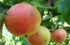 Сорт яблони: Соколовское