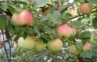 Сорт яблони: Совхозное