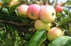 Сорт яблони: Спартак