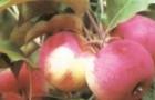 Сорт яблони: Стройное