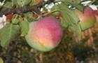 Сорт яблони: Студенческое