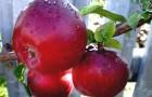 Сорт яблони: Тубинское (Восточное)