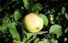Сорт яблони: Уральское наливное