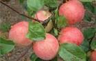 Сорт яблони: Услада