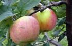 Сорт яблони: Утес