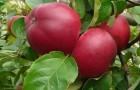 Сорт яблони: Веньяминовское