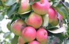 Сорт яблони: Волжанка