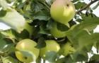Сорт яблони: Юбилей Москвы