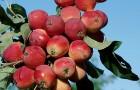 Сорт яблони: Жебровское