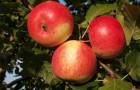 Сорт яблони: Зарянка