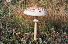 Гриб-зонтик сосцевидный