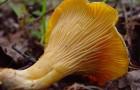 Лисичка желтеющая