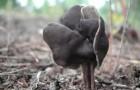 Лопастник ямчатый